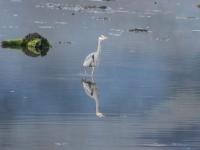 Glenelg Inn Heron 2